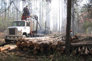 Off-site slash pine being removed